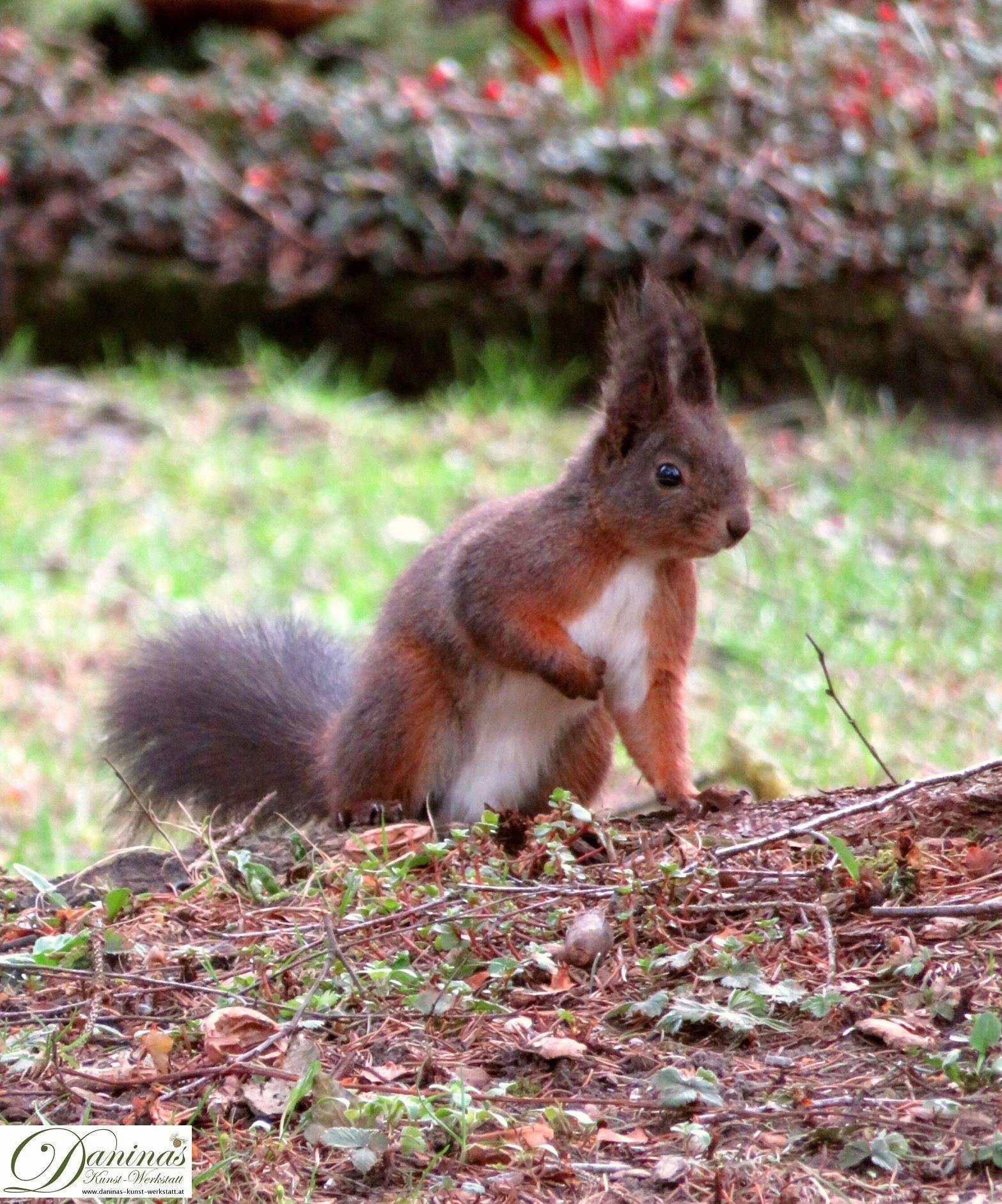 eichhörnchen im garten  eichhörnchen eichhörnchen bilder