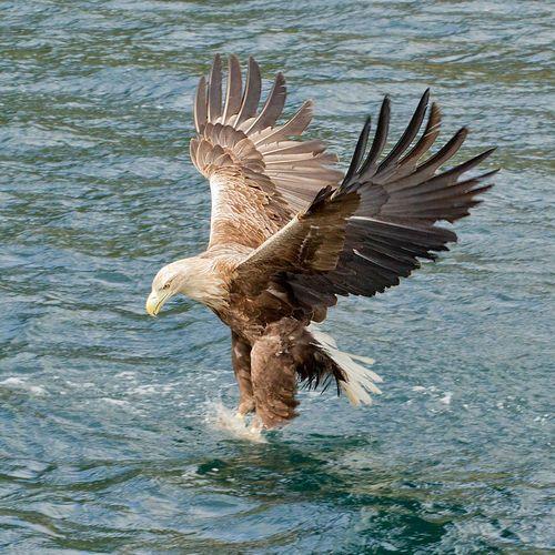 White-tailed Eagle - Haliaeetus albicilla