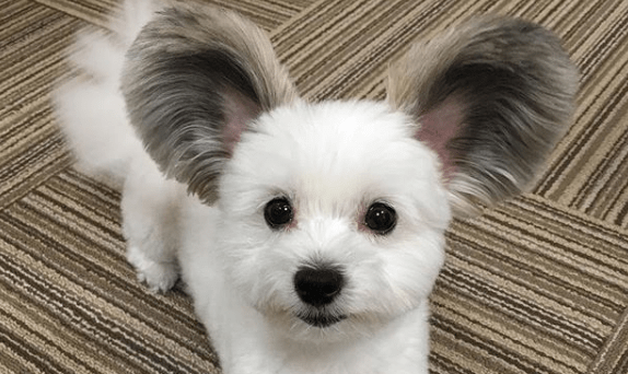 We Had To Share This Adorable Dog With Mouse Ears Fluffy Dogs