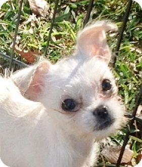 Hagerstown Md Chihuahua Shih Tzu Mix Meet Dinky B Tidwell 2lbs