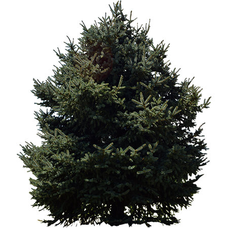 A Great Evergreen Cutout Png File For Your Rendering Project Norway Spruce Tree Norway Spruce Trees To Plant