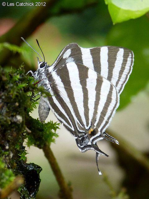 Laothus Gibberosa 蝶 蝶々 虫
