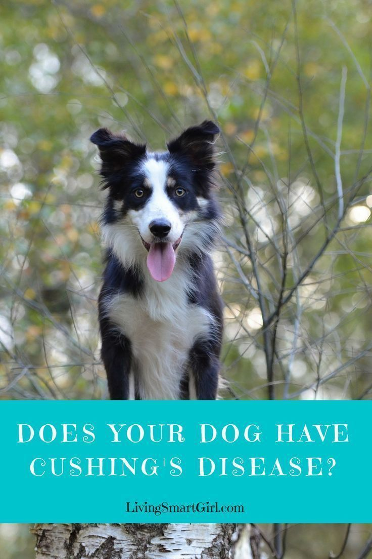 Does your dog have cushings disease dogs cushings