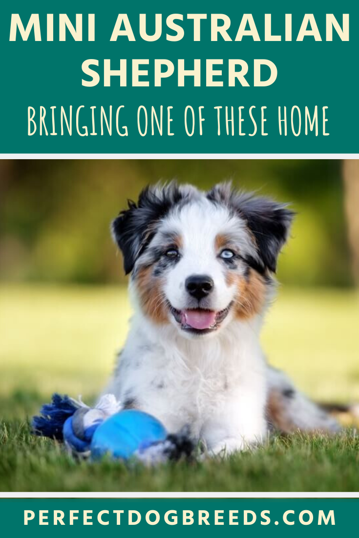 Mini Australian Shepherd For Sale In 2020 Mini Australian Shepherds Australian Shepherd Australian Shepherd For Sale