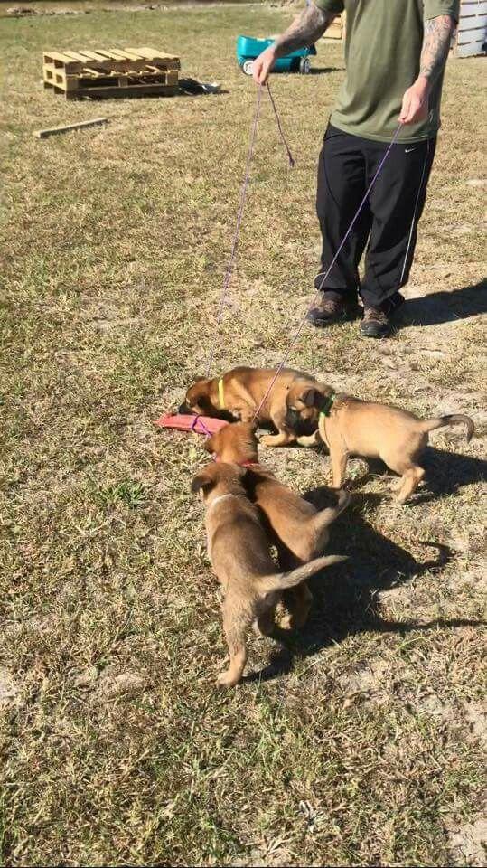 Pin By Nancy Santero On Kazo Doc Malinois Malinois Dogs Animals