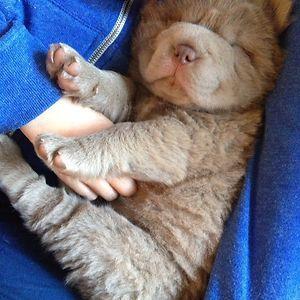 Best Teddy Bear Chubby Adorable Dog - 036eab80d08586e88591f364c3827e60  Gallery_671084  .jpg