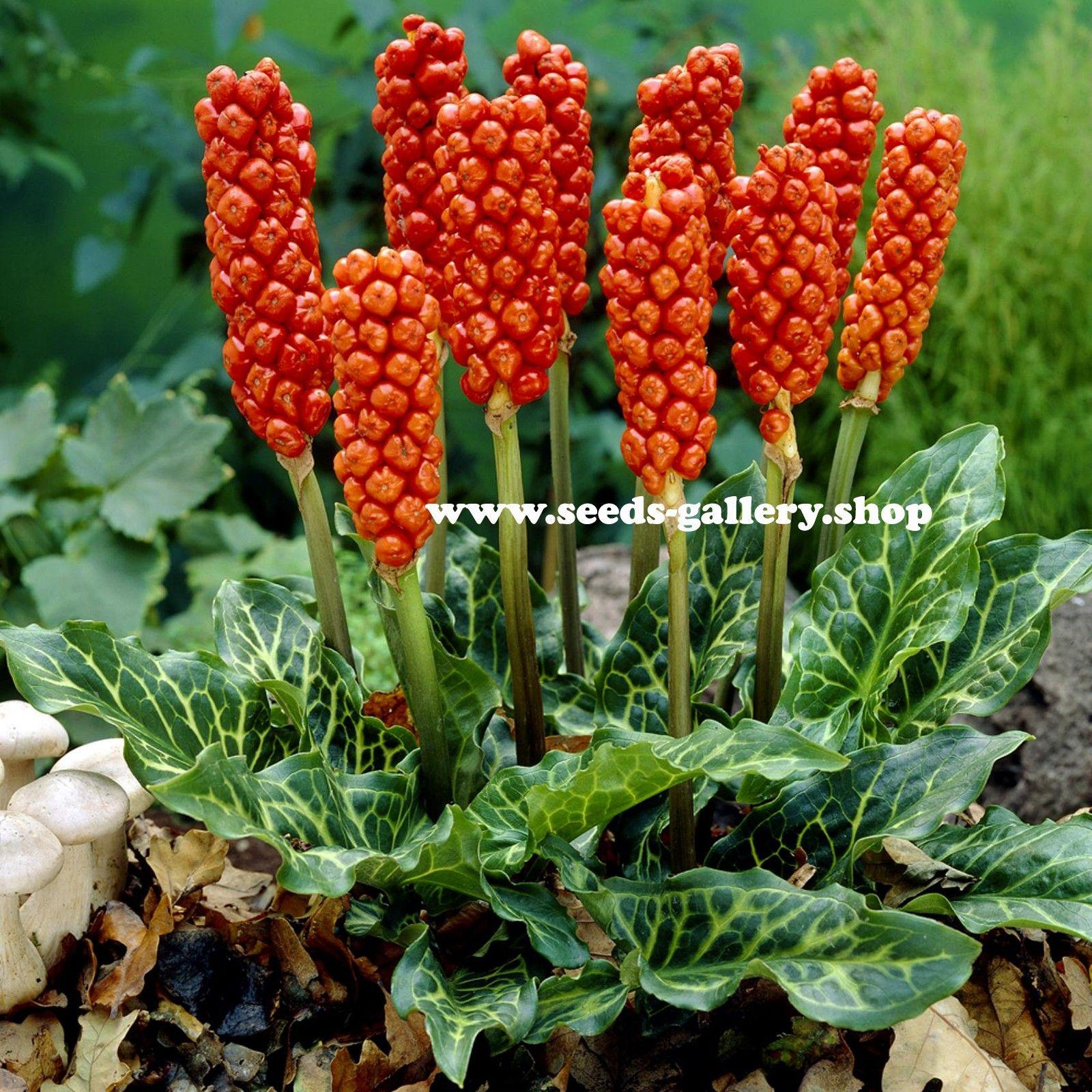 Arum Seeds Snakeshead Adder 039 S Root Arum Maculatum 2 25
