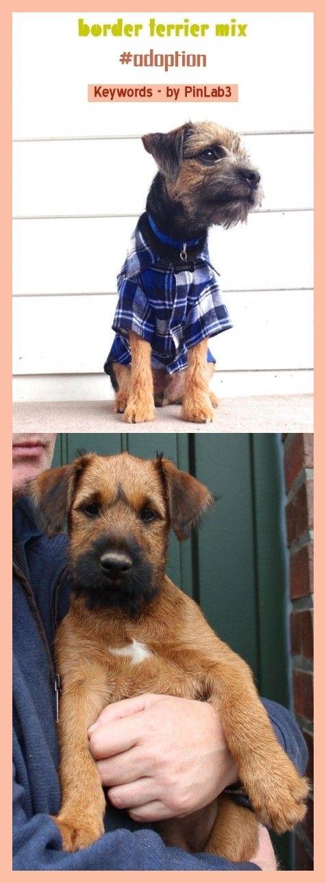 Border Terrier Mix Border Terrier Border Terrier Border Terrier Mix Border Terrier Mix Mezcla De Terrier D 2020 Terrier Mix Terrier Mix Dogs Rat Terrier Mix