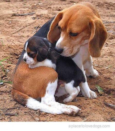 Good Mom Let S Her Pup Sleep Undisturbed Dogs Pets Beagles