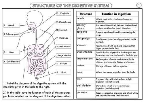 Gcse biology digestion topic resource pack updated science test gcse digestive system structure and function worksheet answerspdf ccuart Images