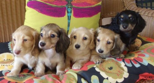 Akc English Cream Dachshund Puppies For Adoption Dendem5214 Gmail