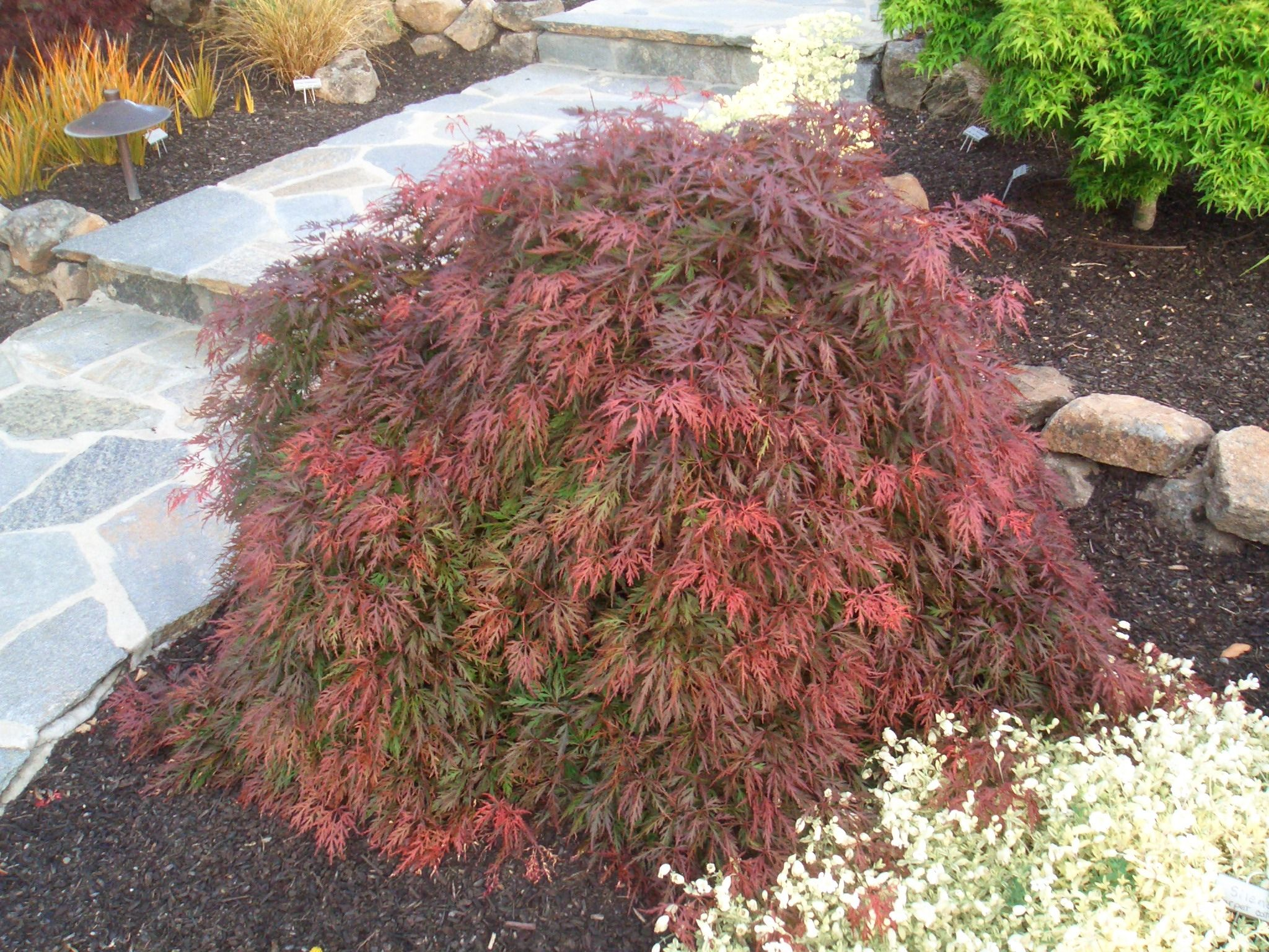 How to care for a fern leaf japanese maple - 25 Best Ideas About Japanese Maple Varieties On Pinterest Sidewalk Landscaping Landscaping Design And Japanese Maple Garden