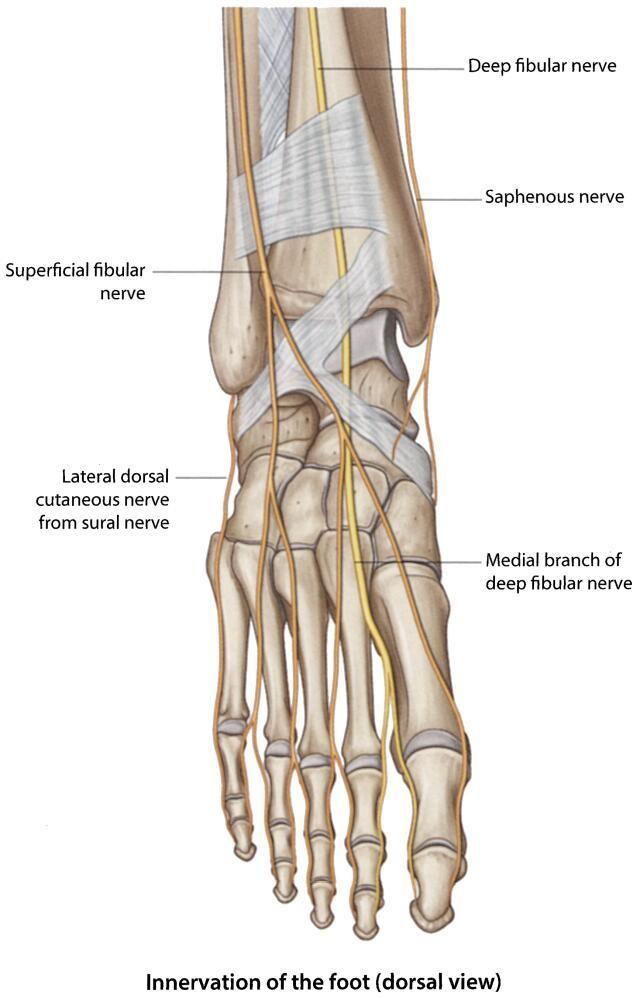 Saphenous Nerve Anatomy Gallery - human body anatomy