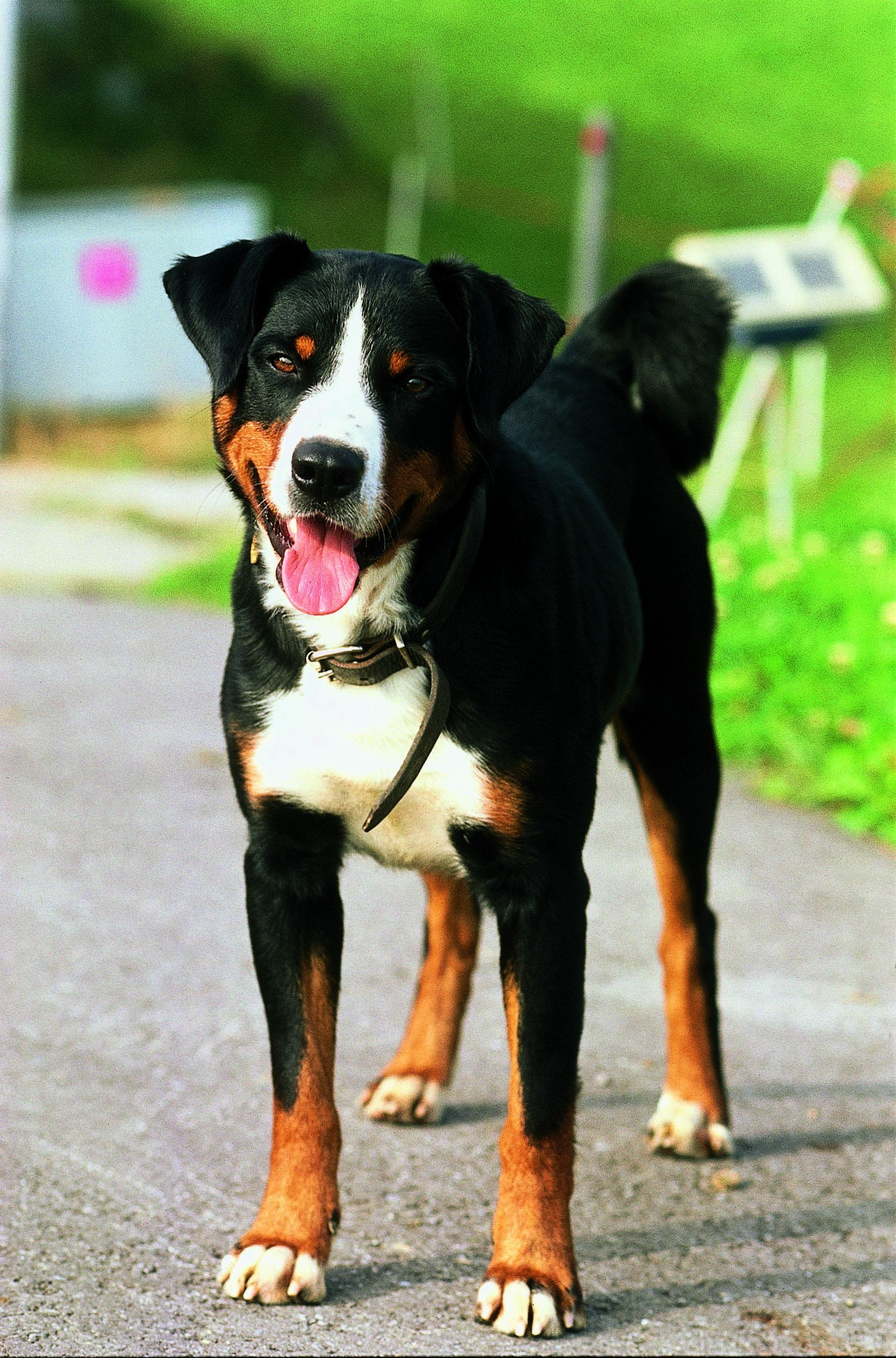 Appenzeller Sennenhund Bouvier De L Appenzell Bovaro Dell Appenzell Boyero De Appenzell Boiadeiro De Sennenhund Appenzeller Hund Entlebucher Sennenhund