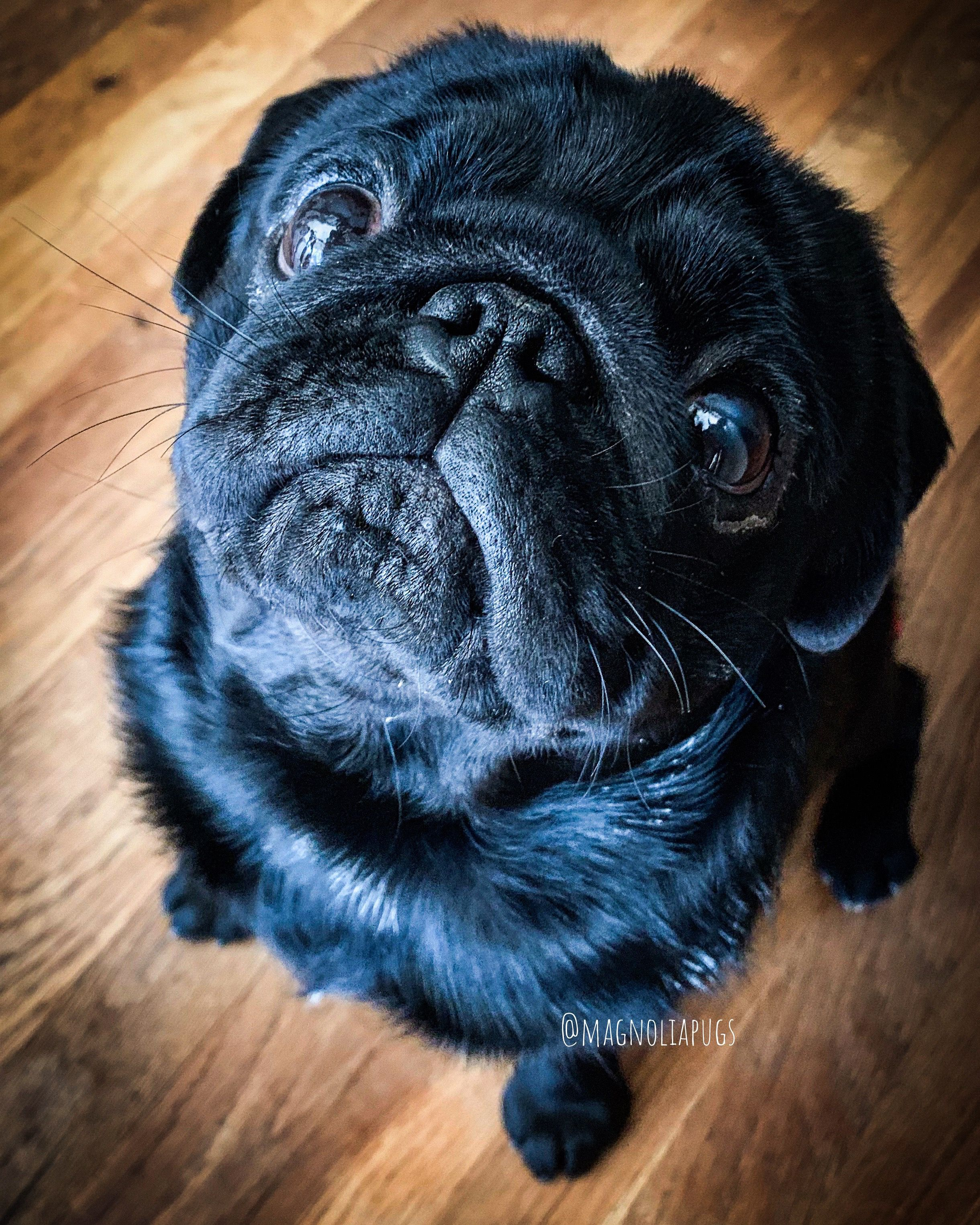 Pin By Nana Covington On Pugs Pugs And More Pugs French Bulldog