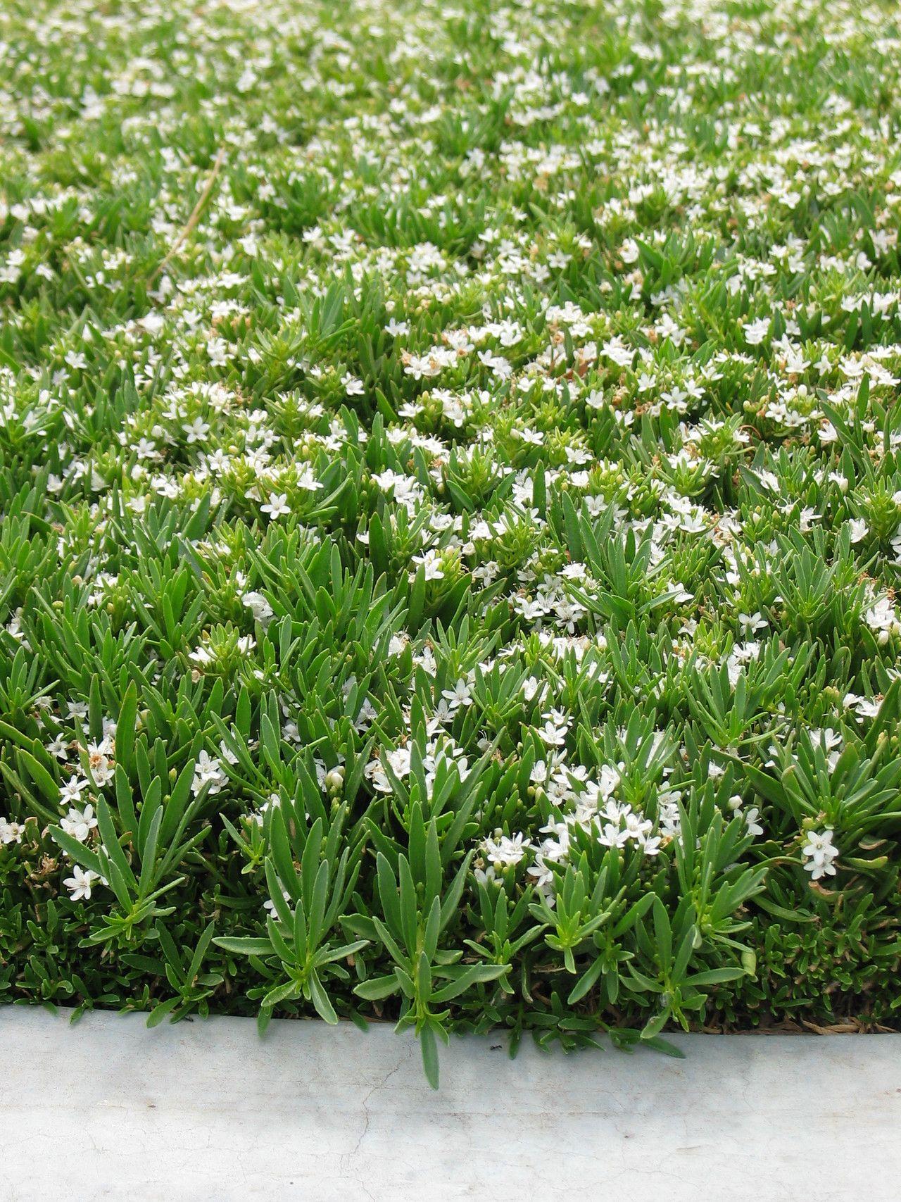 mypa myoporum parvifolium 39 prostratum 39 ground cover myoporum evergreen 3 6 inches high. Black Bedroom Furniture Sets. Home Design Ideas