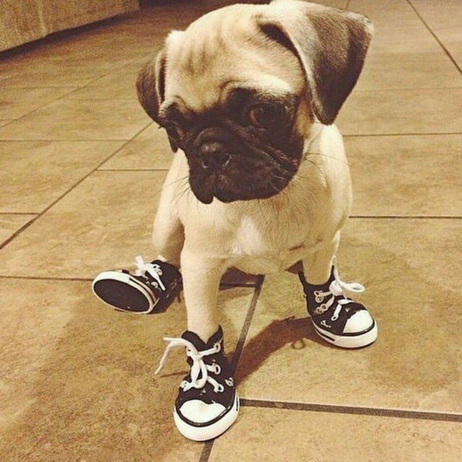 5653bf8e809e 11 Dogs Who Have Booted up for Winter! My pug will have converse looking  shoes