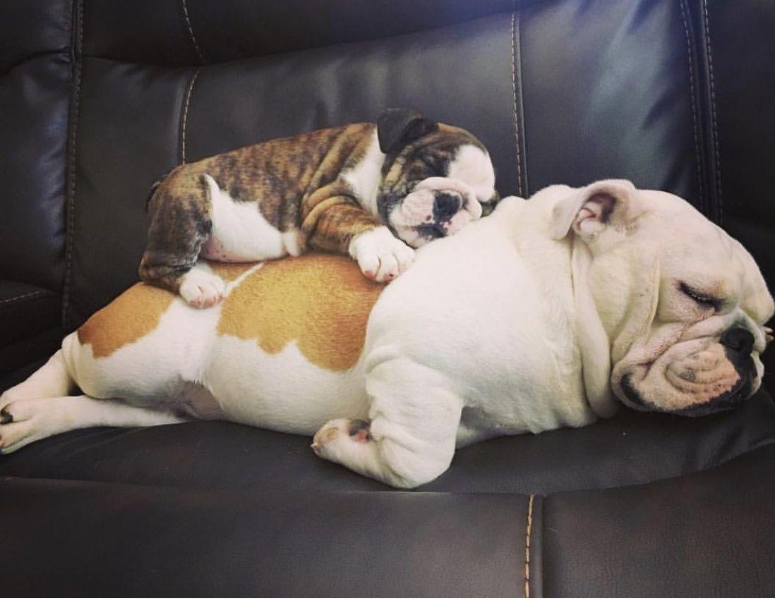 Pin By Rosmay Bates On Love Cute Baby Animals Bulldog Puppies
