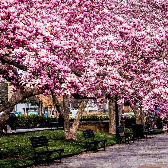 Jane Magnolia Jane Magnolia Magnolia Trees Flowering Trees
