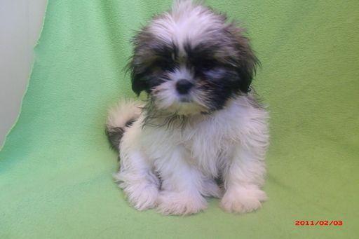 Shih Tzu Puppy For Sale In Paterson Nj Adn 20552 On Puppyfinder Com Gender Female Age 4 Months Old Shih Tzu Puppy Puppies For Sale Puppies