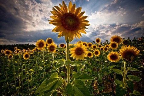 Hiding Out With Tinder Essay And Baboo In Henry S Sunflower Fields Remains Vivid In My Mind Flower Background Images Sunflower Wallpaper Flower Backgrounds