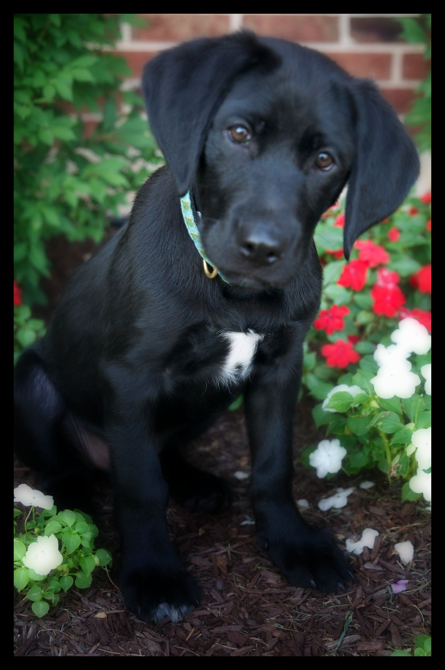 Lab And Pointer Puppies For Sale 2020 Google Search In 2020 Black Lab Puppies