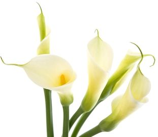 Calla Lily Bulbs For Sale Buy Calla Lilies At Eden Brothers Calla Lily Bulbs Calla Lily Lily Bulbs