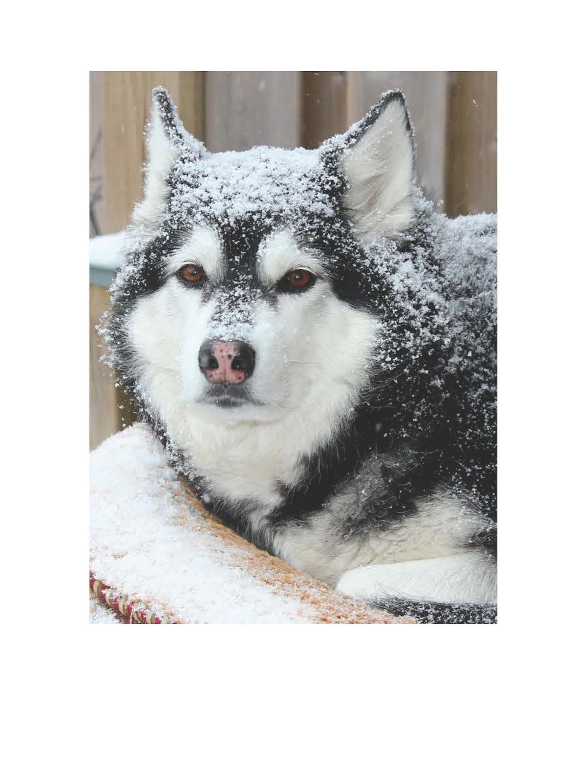 This Is Keisha This Husky Will Stay Outside In Any Weather