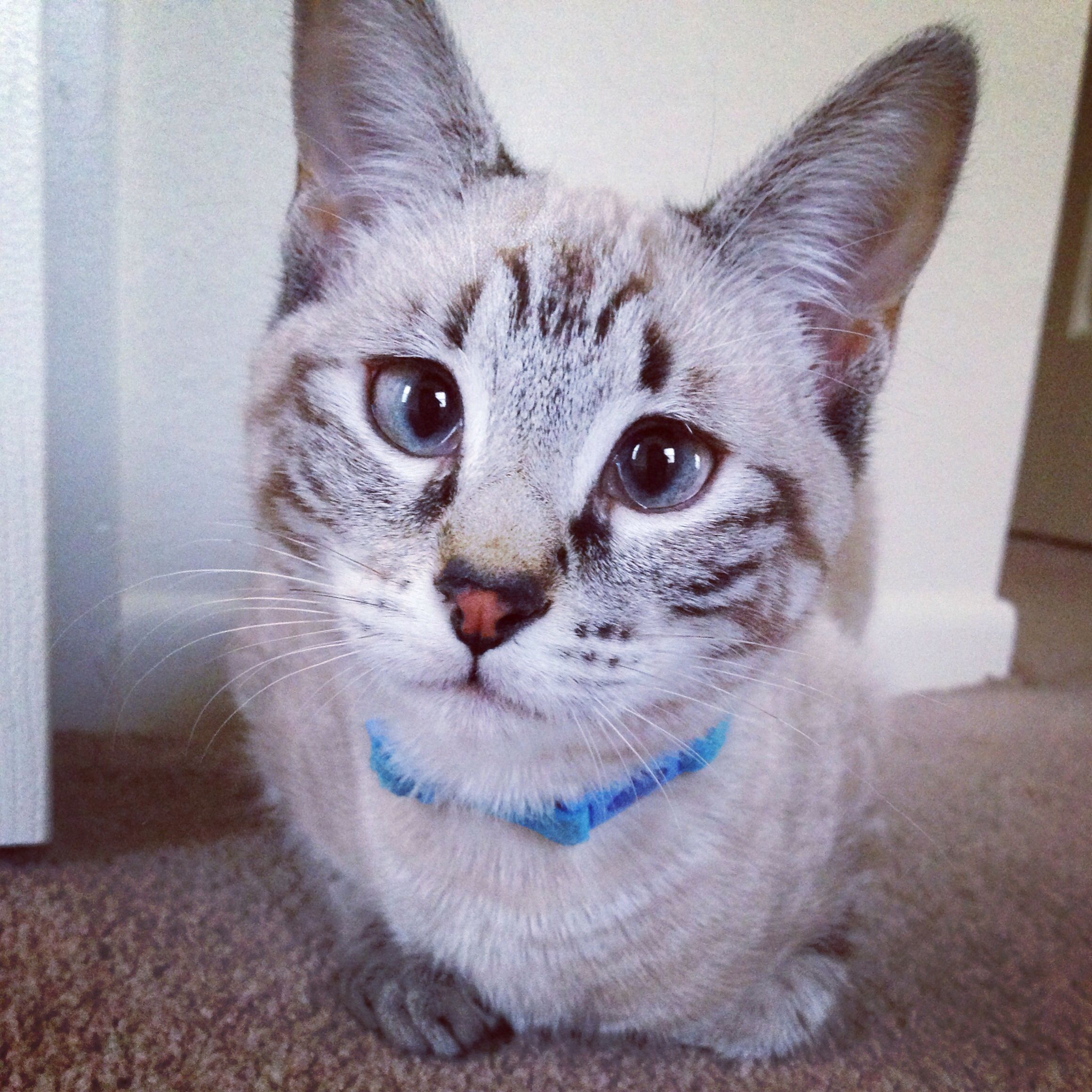 That face! Blue eyed lynx point siamese Crazy cats, Cute