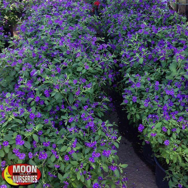 Solanum Purple Potato Vine Potato Vines Plants Purple Potatoes