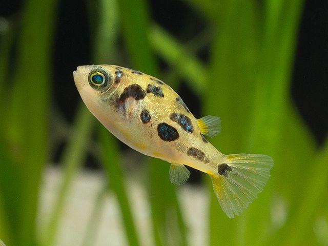 Wa Carinotetraodon Travancoricus I Zwergkugelfisch 2x 5 99 Dwarf Puffer Fish Puffer Fish Tropical Fish