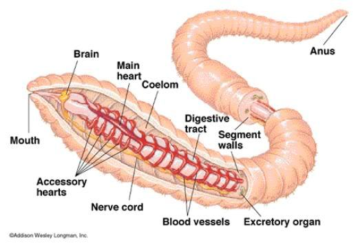 Diagram Of A Worm Google Search This Or That Questions Insect Species Earthworms