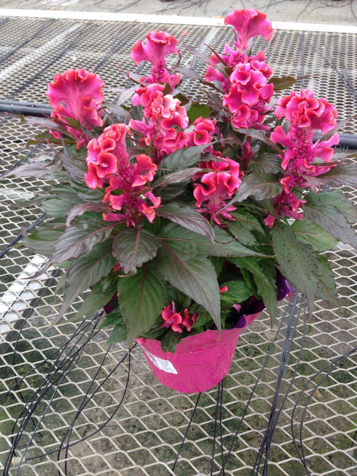 Super 6.0 Celosia - Hot Topic Pink | Celosia @ White's Nursery | Garden UJ98
