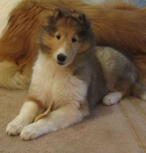 Ch Chelsea California Gold Rough Collie Collie Dog Dogs