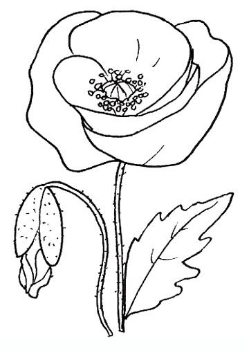 poppy flowers coloring pages - Poppy Flower Coloring Pages