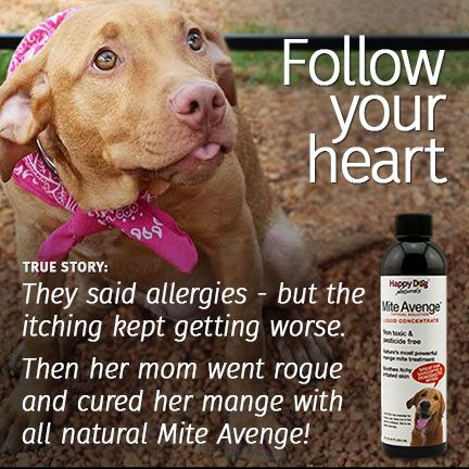Curing Mange Naturally Meds For Dogs Itchy Dog Dogs