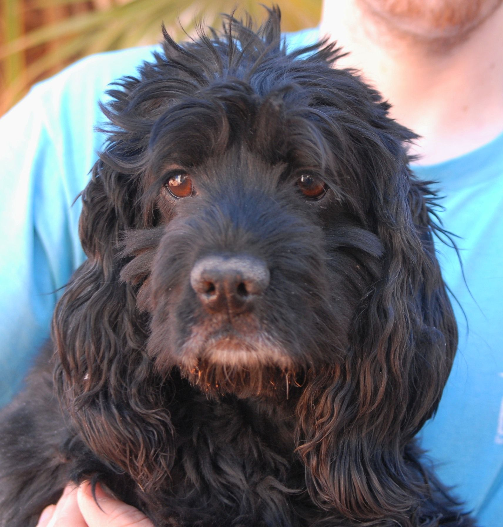 Caesar Is A Very Friendly And Lovable Cocker Spaniel Debuting For Adoption Today At Nevada Spca Www Nevadaspca Or Dog Boarding Near Me Luxury Dog Save Animals