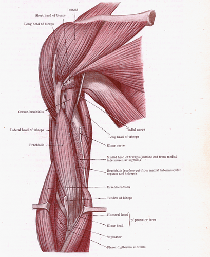 Outstanding Muscle Arm Diagram Gallery - Anatomy And Physiology ...