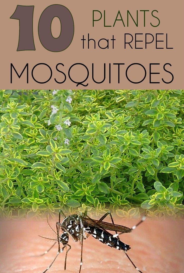 10 plants that repel mosquitoes 10 plants that repel mosquitoes - #plantsthatrepelmosquitoes