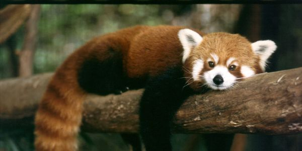 In the last 50 years, the red panda population has dramatically decreased worldwide. It's bad enough that these unique, charming animals are...