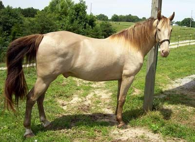 Amber Champagne Tennessee Walking Horse   Rare Horse Colors ... 7afd10278cd