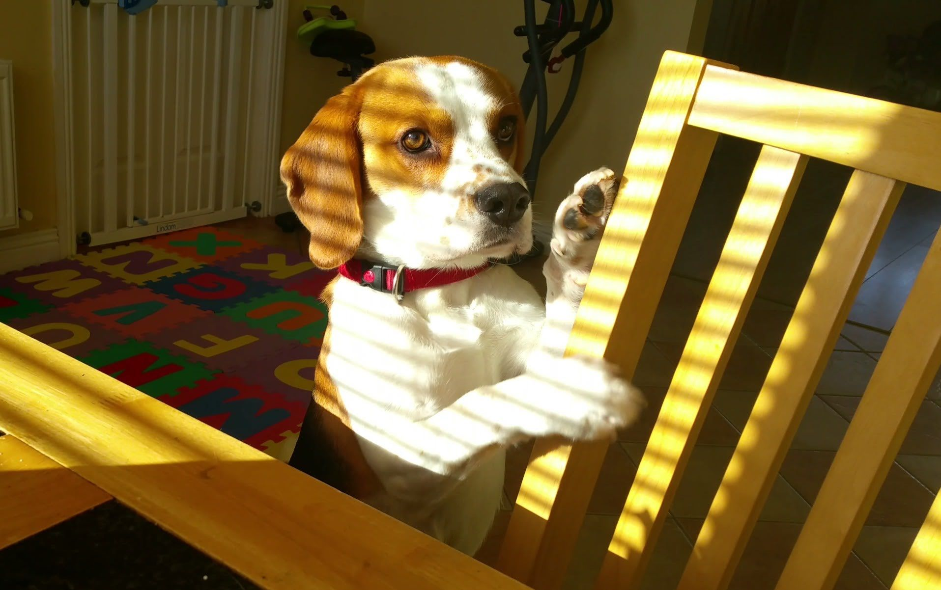 Dog Wants To Trade Toy For Breakfast Cute Beagles