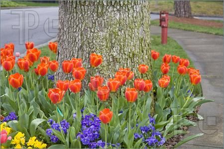 Orange Tulips And Other Flowers In A Garden Around A Tree Landscaping Around Trees Planting Bulbs Orange Tulips
