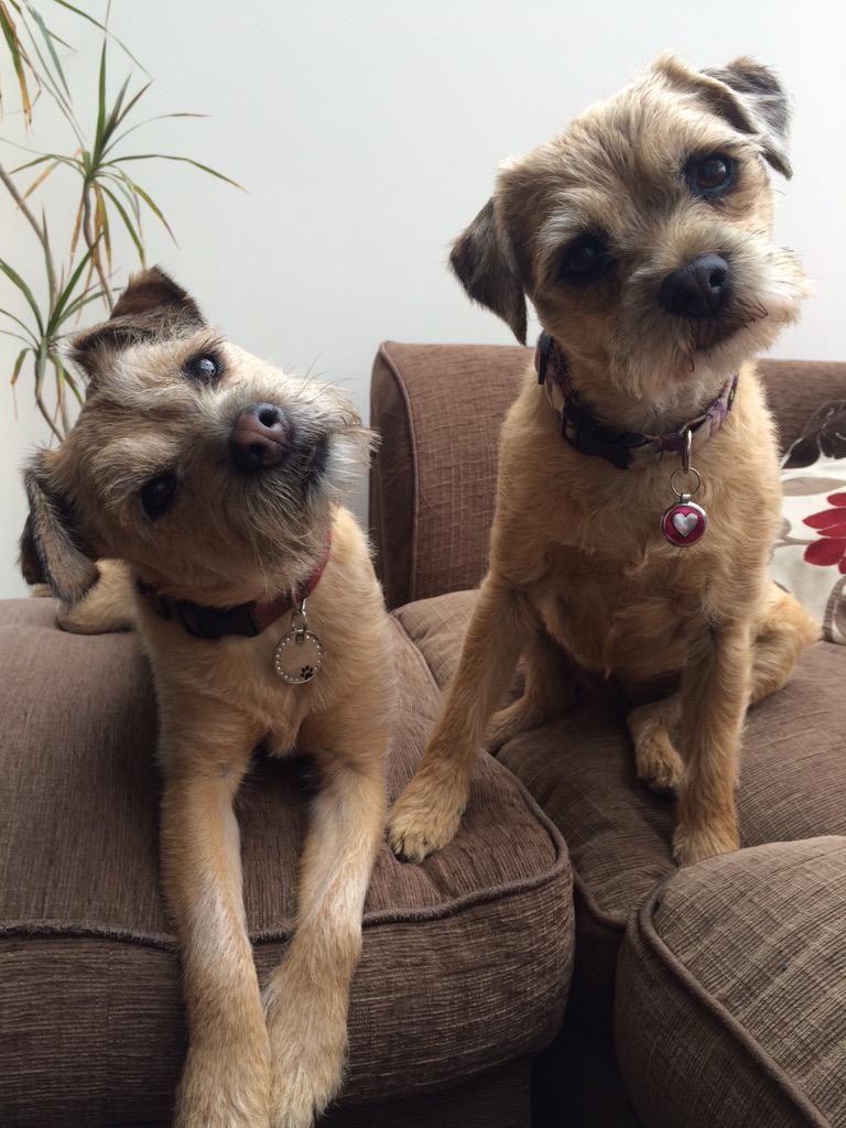 Adele On Terrier Dogs Border Terrier Patterdale Terrier