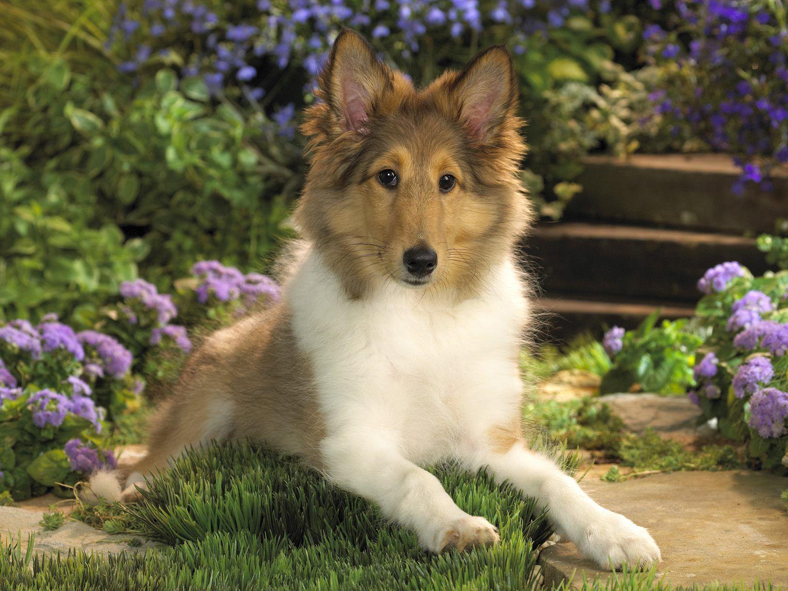 Sheltie So Cute Sheltie Puppy Sheltie Puppies For Sale Sheltie Dogs