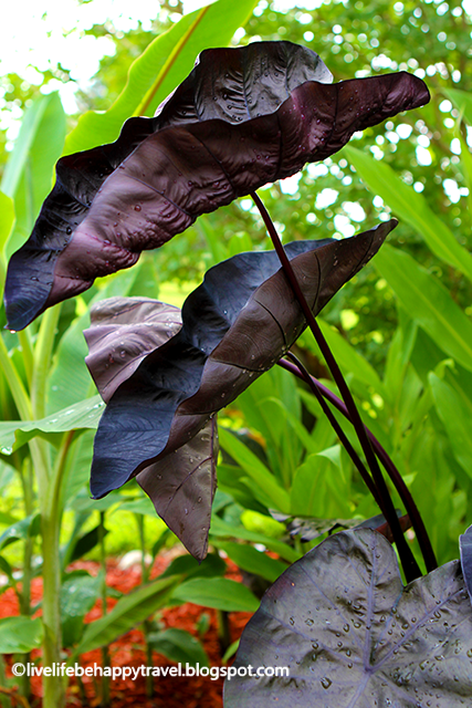 Black elephant ear - Cold Climate Tropical Garden - Arkansas - Cold