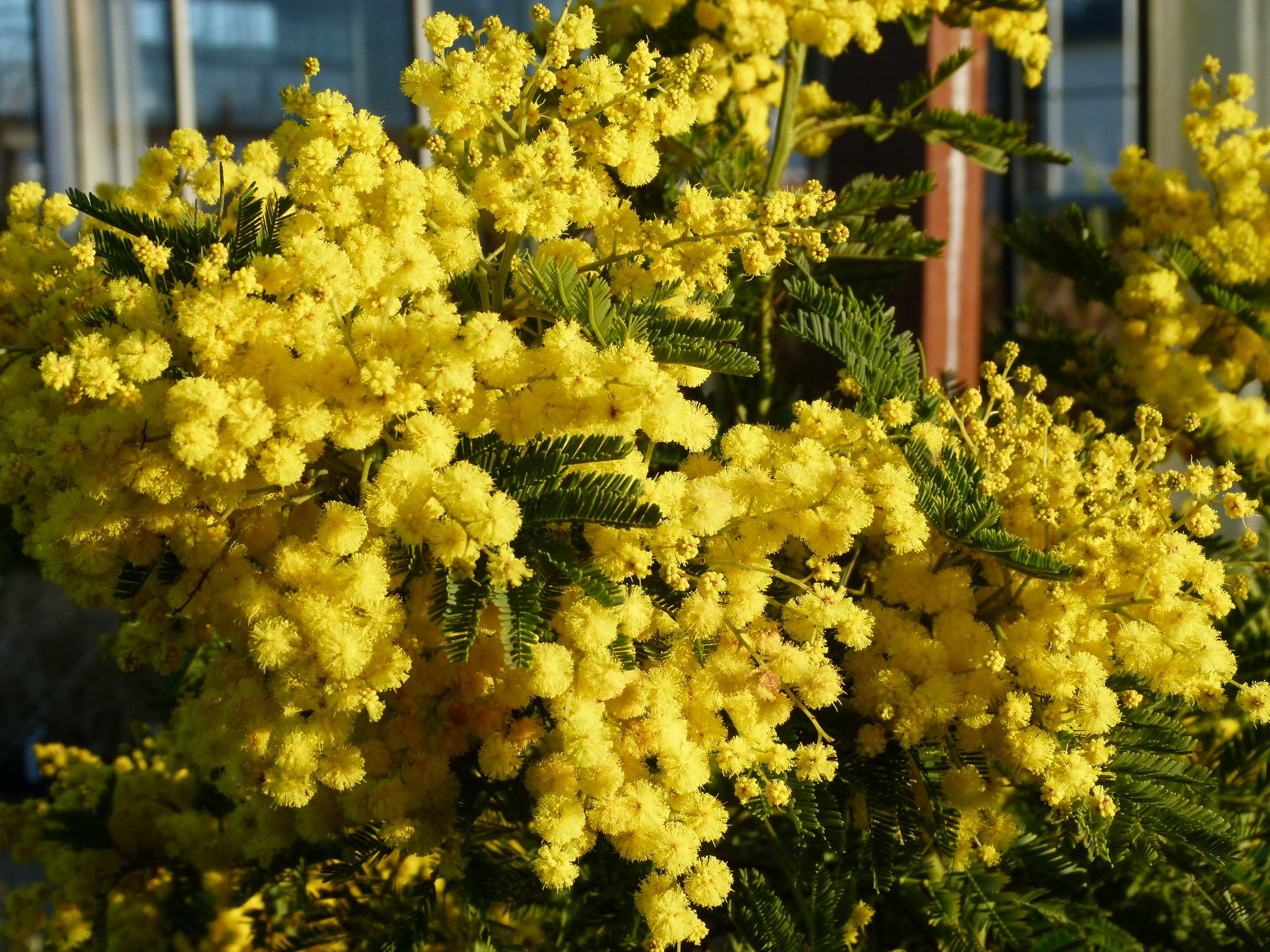 Acacia Dealbata Gaulois Astier Mimosa Is A Compact Form Of