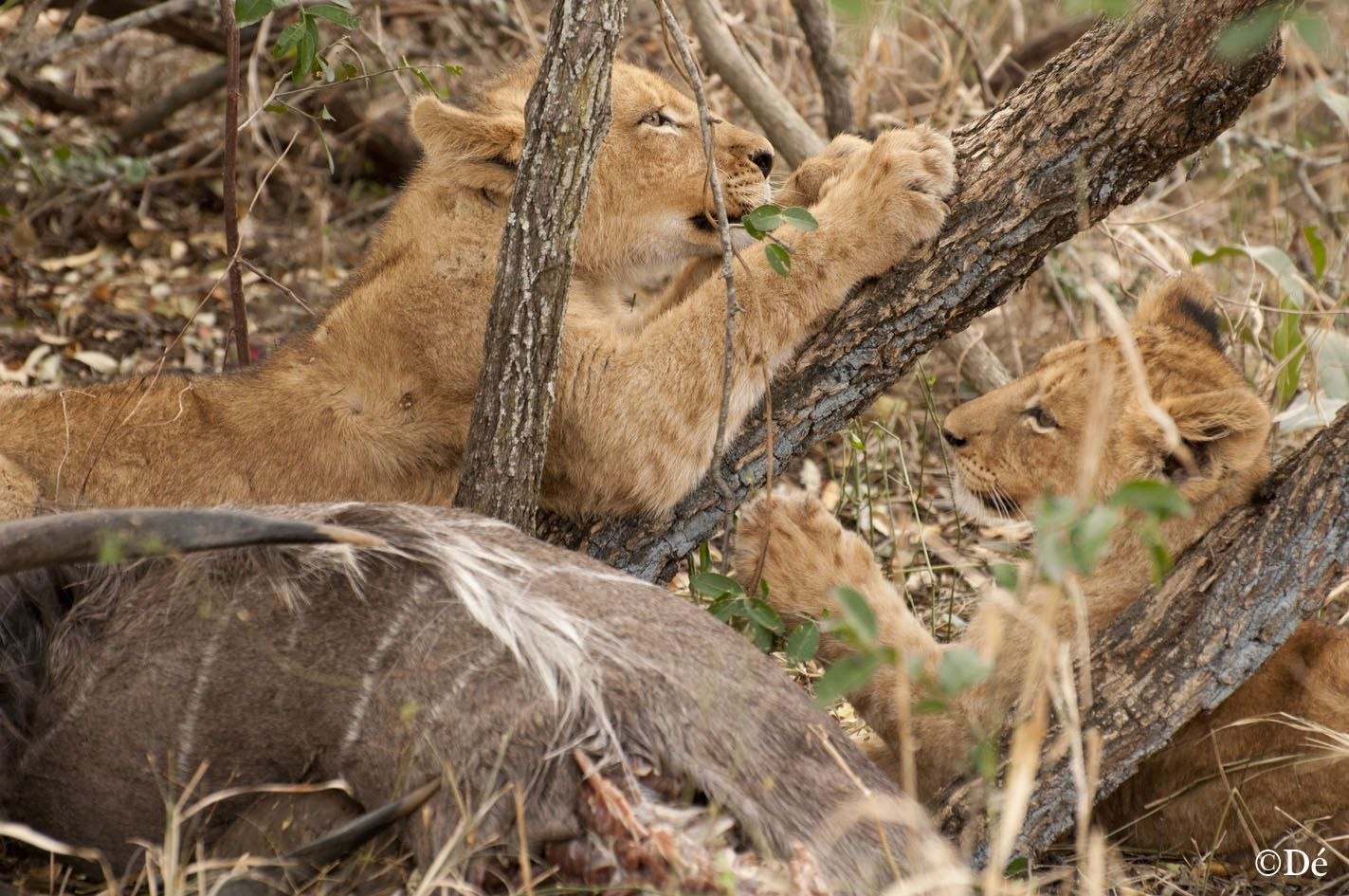 South Africa : cubs playing with dead coudou just after hunting