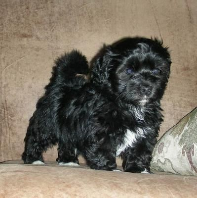 Cute Black And White Maltipoo Paolo Villamor Cute Animal