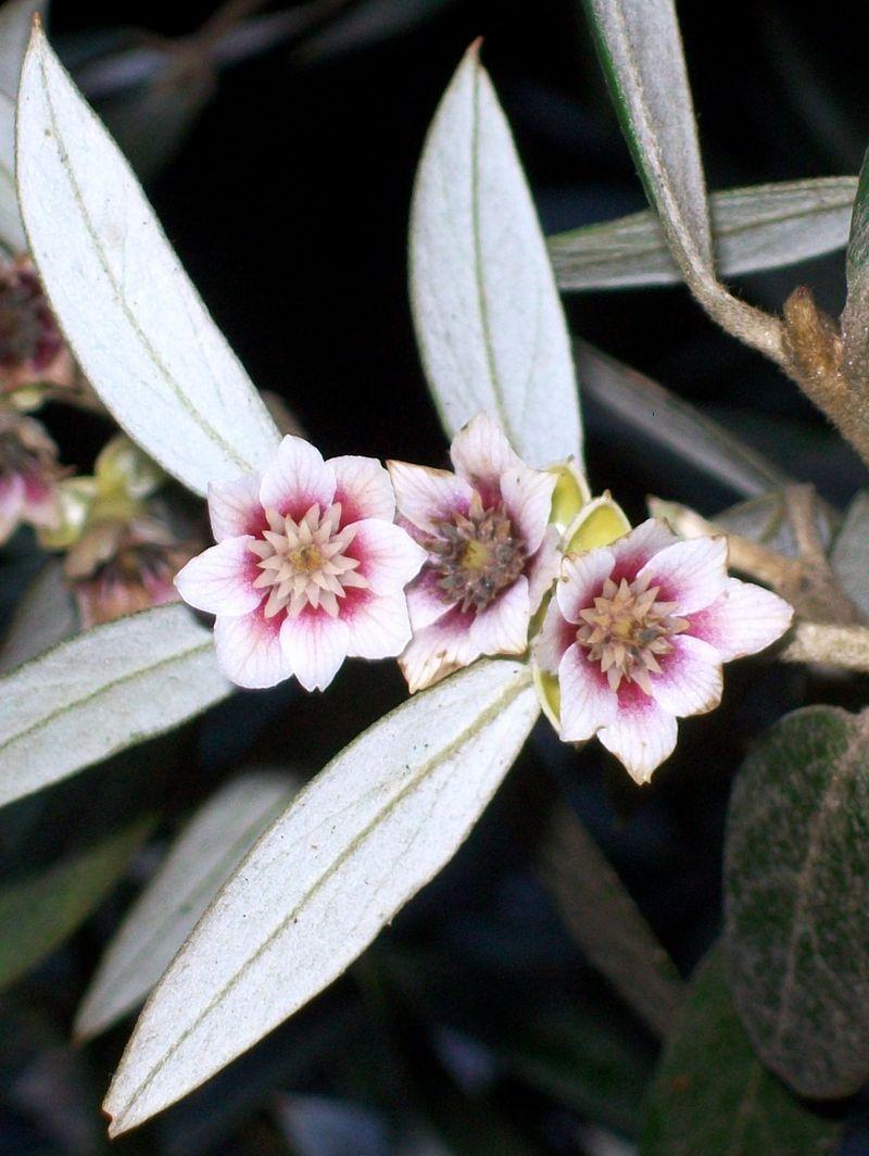 Atherosperma Moschatum Flowers At Leura Wikipedia The Free